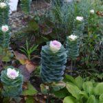 Цветок похожий на капусту