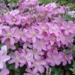 Жгучий мелкоцветковый
