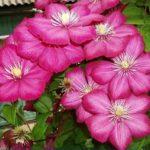 Виль де Лион крупноцветковый