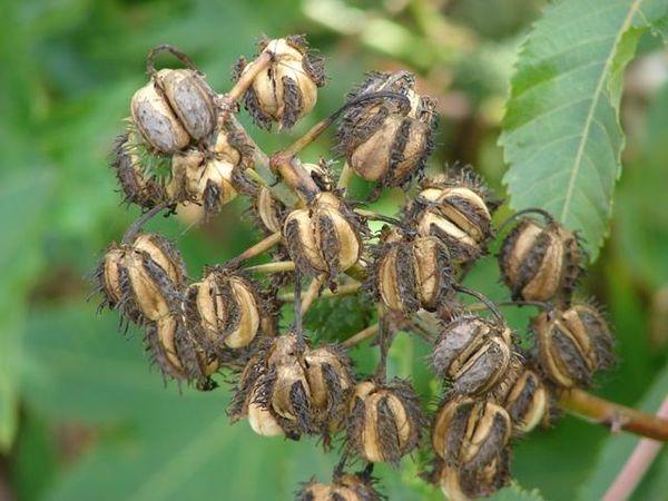 Коробочки с семенами клещевины