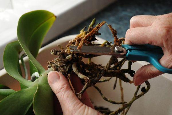 От излишнего полива корни кливии могут гнить