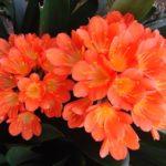 Яркие цветки кливии