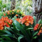 Кливия в естественных тропических условиях
