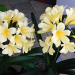 Clivia Bronze Yellow