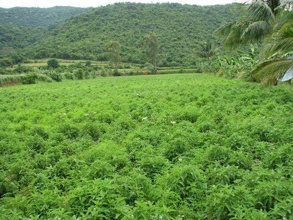 Тропическая плантация колеуса