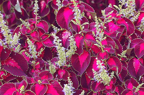 Сложные соцветия колеуса