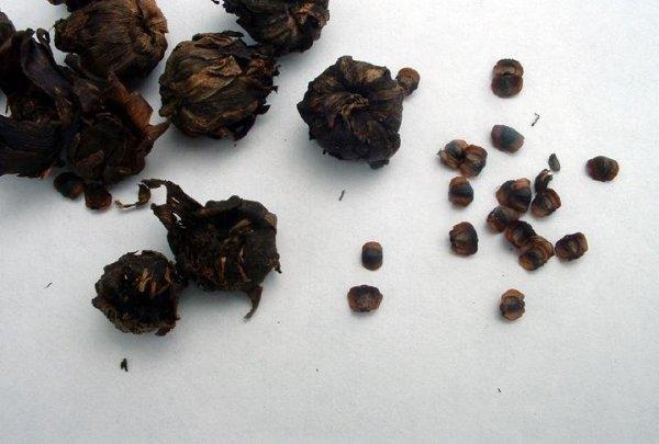 Коробочка с семенами кореопсиса