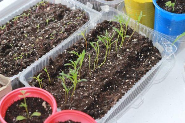 Как сажать ромашки семенами 7