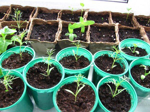 Выращивание космеи в открытом грунте 47
