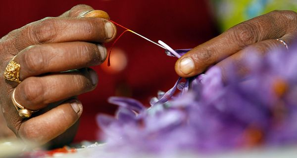 Рыльца цветов крокуса - это шафран