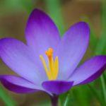Цветки крокусов бывают однотонными