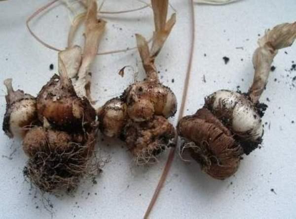 Луковицы Крокуса с детками