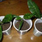 Высаживают в отдельные емкости после укоренения
