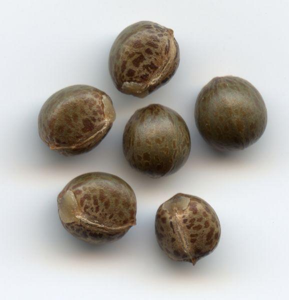 Семена кодеума