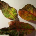 От сквозняка цветок может сбросить листья