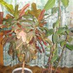 При недостатке влаги кодеум опускает листья