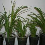 Саженцы из семян перед посадкой в грунт