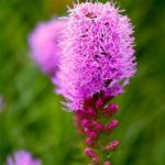 Цветки лиатриса
