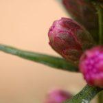 Плоды лиатриса