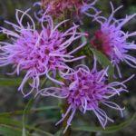 Цветки лиатриса шероховатого