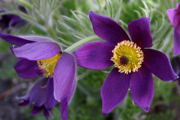 Цветки представителей лютиковых чаще всего собраны в соцветия на верхушке