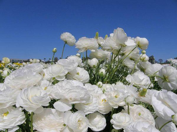 В естественных условиях лютик растет в теплом климате