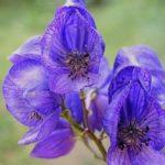 Ядовиты все части растения, даже красивые цветы