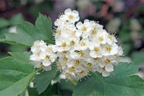 Лечебные свойства и противопоказания цветков боярышника
