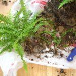 Очищают корни от земли и высаживают в новый горшок