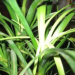 Обесцвечивание и увядание листьев нолины