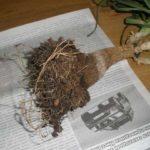 Гниение ствола и корневища