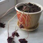 Чрезмерный полив приводит к увяданию растения