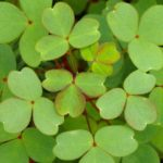 Тройчатые листья кислицы