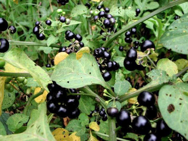 Ветки, усыпанные созревшими ягодами паслена черного