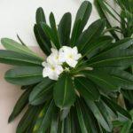Цветки сорта Ламера