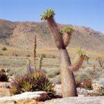 В дикой природе растение может вырастать до 6 метров