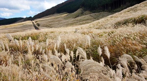 Поля пампасной травы