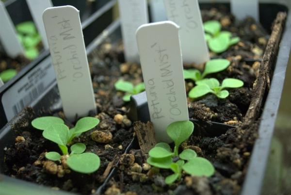 Существует два основных метода выращивания рассады: в грунте и в торфяных таблетках
