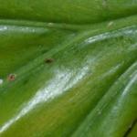 Щитовка на листьях филодендрона