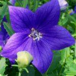 Mariesii blue