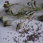 Сбор семян платикодона перед посадкой в грунт