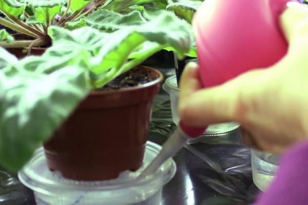 Сверху грунт поливают только у молодых стрептокарпусов, взрослым растениям воду льют в поддон