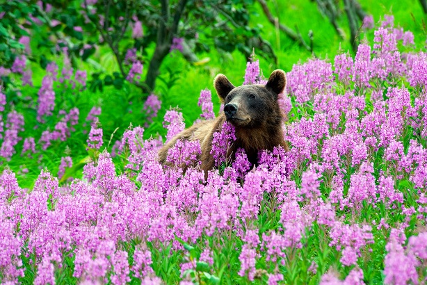 Луг с цветами иван-чая
