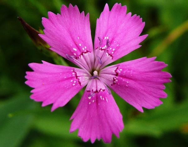 Травянистый многолетник высотой 20-40 см, цветок с пятью лепестками с зубчиками по краю