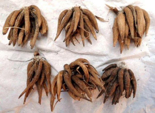 Клубни ранункулюса выкапывают и хранят до весны