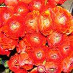 Персидский «Фламенко»