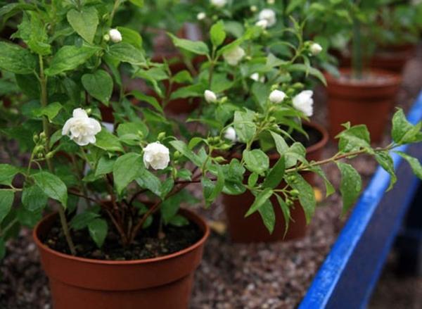 Пересаживают кустарник в любой период года, когда он не цветет