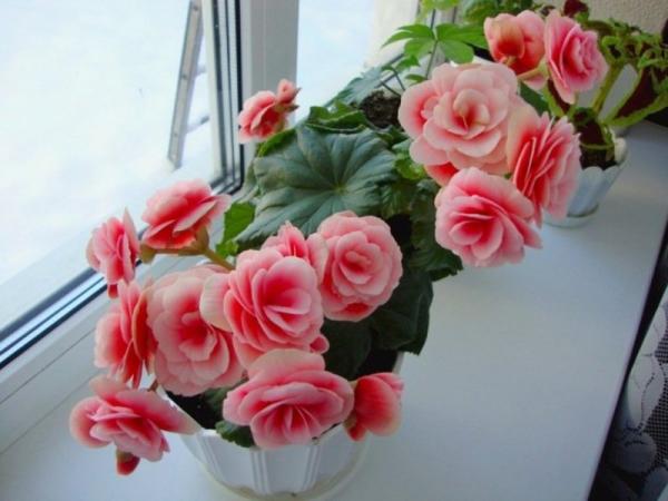 Цветок можно выращивать и в оранжерее, и дома, и в открытом грунте