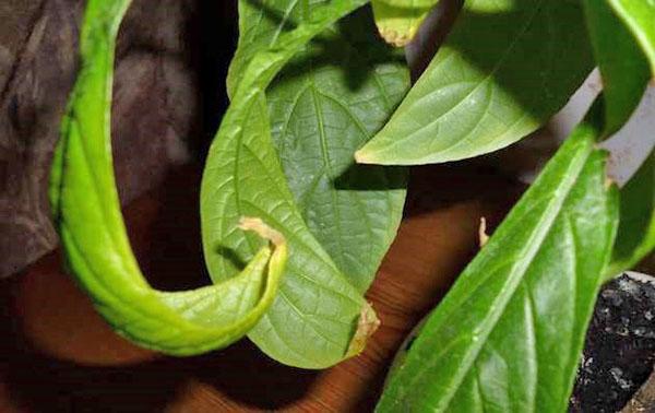 Чаще всего проблемы, вызывающие опадение и бледность листвы, задержку роста и отсутствие цветения, связаны с нарушением правил ухода за Пахистахисом