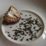 Семена можно собрать самостоятельно